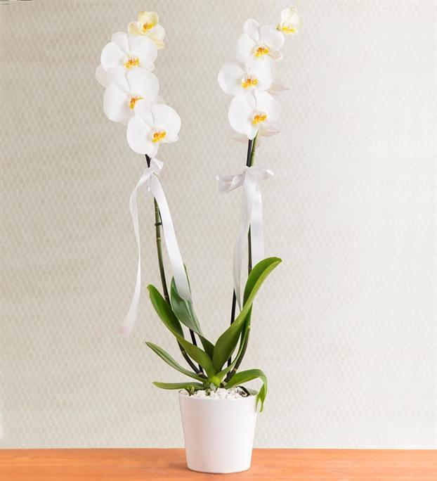 Beyaz Orkide Çiçeği