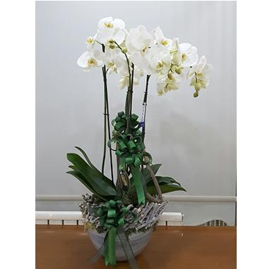 Orkide #0011