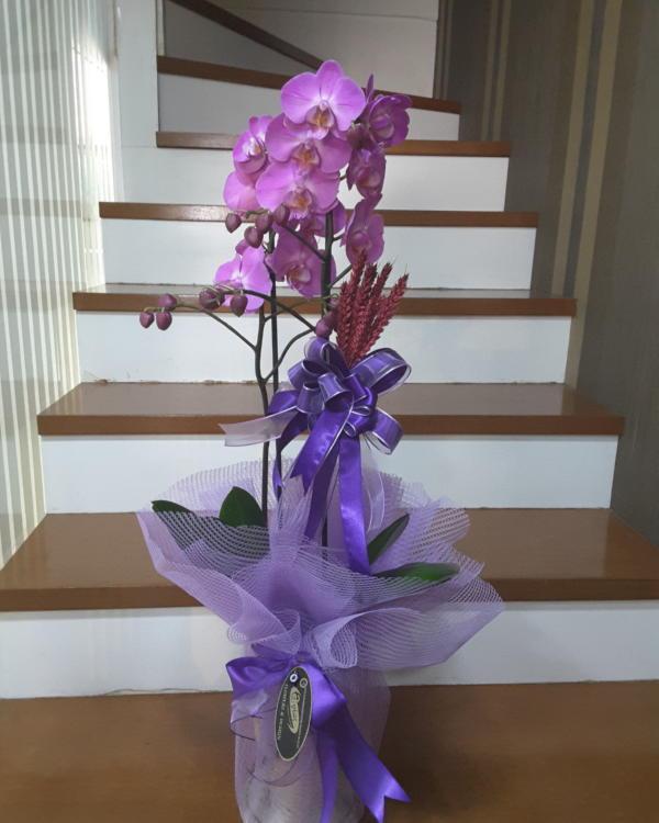 Asaletli Mor  Orkide