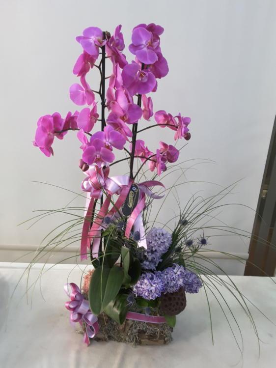 VIP Mor Orkide